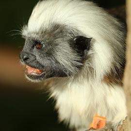 Cotton-Top Tamerin by Ralph Harvey - Animals Other Mammals ( animals, wildlife, ralph harvey, monkey, marwell zoo )