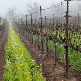 Foggy Day In The Vineyard by Janet Marsh - Landscapes Prairies, Meadows & Fields ( mustard, fog, napa )