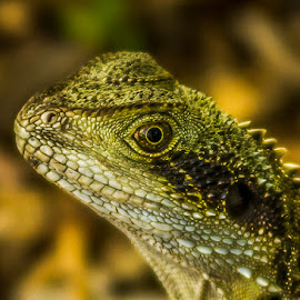 Lizard by Jose Rojas - Animals Reptiles ( lizard, nature, lizard uo close, nature up close, lagarto, reptile )