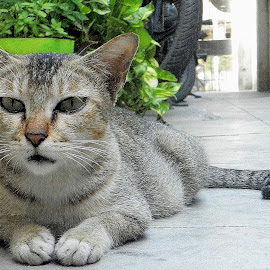 Cat resting, but cautious... by Govindarajan Raghavan - Animals - Cats Portraits (  )