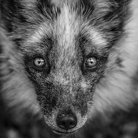 Fox by Jack Lewis McClure - Animals Other Mammals ( macro, fox, hdr, black and white, close up )