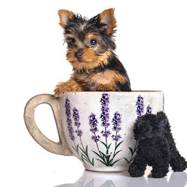 Storm in a teacup by Joggie van Staden - Animals - Dogs Puppies ( tiny, puppy, dog, small, animal )