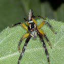 Biting Jumping Spider
