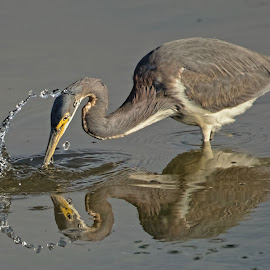 Water drops by Steve Brooks - Animals Birds ( water, nature, wildlife, beach, birds, heron, egret )