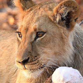 by Steven Liffmann - Animals Lions, Tigers & Big Cats