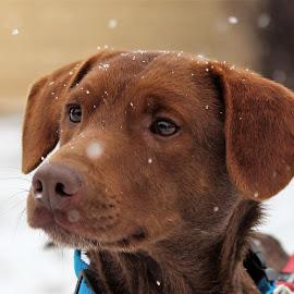 by Suzana Svečnjak - Animals - Dogs Portraits ( dogs, pets )