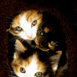 3 Kittens  by Mike Thornberry - Animals - Cats Kittens ( sweet, cute cats, lovely, kittens, portrait )