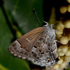 Mottled Scrub-Hairstreak