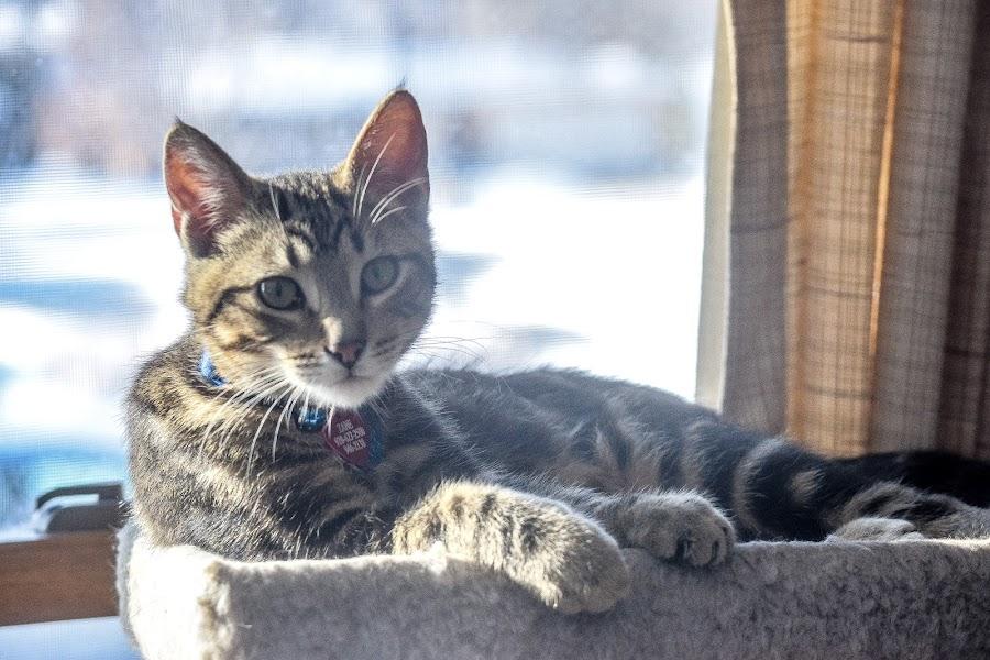 Zane in the Window by Jason Lockhart - Animals - Cats Portraits ( pet portrait, wisconsin, sheyboygan, sunny window, male cat )