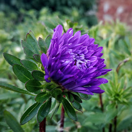 Flower by Zachary Taylor - Instagram & Mobile Android ( mobilography, purple, green, garden, flower )