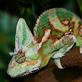 Veiled Chameleon by Mel Stratton - Animals Reptiles ( lizard, veiled, veiled chameleon, reptile, chameleon )