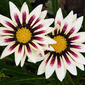two gazanias by LADOCKi Elvira - Flowers Flower Gardens (  )