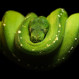 GTP / M. viridis  by Abbey Gatto - Animals Reptiles