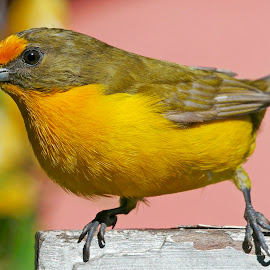 Euphonia violacea by Itamar Campos - Animals Birds