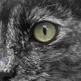 Intense by Serenity Deliz - Animals - Cats Portraits ( cat, serenity, cateyes, kitty )