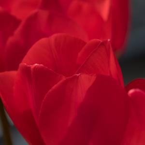 Red Tulips 21 04 18.jpg
