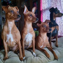 Watching and waiting by Jennifer Duffany - Animals - Dogs Portraits ( miniaturepinscher mybabies dogs watching waiting )