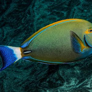 roundspot surgeonfish  (1 of 1).jpg