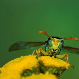 Wasp eyes by Bencik Juraj - Animals Insects & Spiders ( wasp, insect, close up, eye )