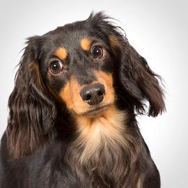 Libbi  by Ginger Wlasuk - Animals - Dogs Portraits ( long-haired dachshunds, dachshunds, dog, portrait )