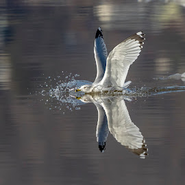 Gull Reflections by Debbie Quick - Animals Birds ( reflection, gull photography, wildlife photography, wildlife, debbie quick, the hudson valley, debs creative images, gull, nature lovers, nature, the hudson river valley, nature photography, nature enthusiasts, bird photography, best birds, animal, elite birds, water, wild, animal photography, shorebird, ring-billed gull, bird, best bird photography, the hudson river )