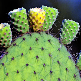 Cactus 11 by Pradeep Kumar - Nature Up Close Other plants