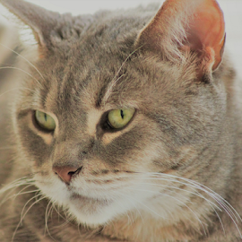 Just One of Those Days by Lisa Newberry - Animals - Cats Portraits ( bella, cat, female, pet, grey, feline, animal )