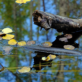 Fall Reflected by Marko Ginsberg - Nature Up Close Water ( water, reflection, fall, leaves )