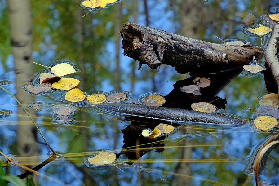 Fall Reflected by Marko Ginsberg - Nature Up Close Water ( water, reflection, fall, leaves,  )