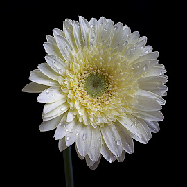 very nice gerbera by LADOCKi Elvira - Flowers Single Flower ( wind, autumn flowers, nature, autumn, plants, flowers, gerbera, garden, floral )