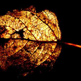 leaf by Janine Kain - Nature Up Close Leaves & Grasses ( nature, still-life, gold, stem, leaf, light, veins )