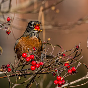 Careful Don't Swallow by Roy Walter - Animals Birds ( bird, robin, dogwood tree, wildlife, animal )