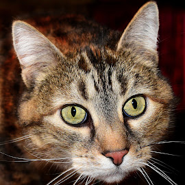 Meow-Meow Close by Shawn Thomas - Animals - Cats Portraits ( cat, feline, domestic, tabby, close,  )