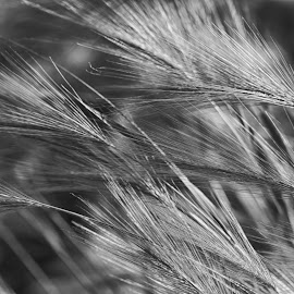 In The Wind by Janice Mcgregor - Nature Up Close Leaves & Grasses ( canon, abstract, wind, b&w, patterns, black and white, grass, canon sl1, white, highlights, nature, outdoors, grow, canon photography, blown, from the land, black )