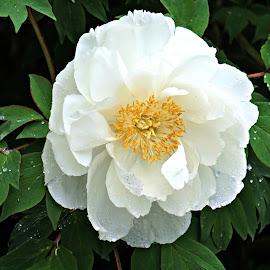White Peony by NY Joyce - Novices Only Flowers & Plants ( bontanical, white, peony, garden, flower )