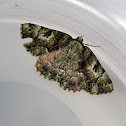 Tea-tree Emerald  Moth