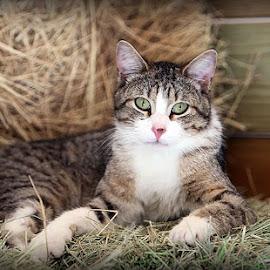 My Buddy Barney by Diana Cantey - Animals - Cats Portraits ( diana cantey pet photos, barn cat, diana cantey, diana cantey photography, cat photos )