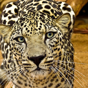 Endangered Arabian leopard at National Center of Wildlife Research, Ta'if, Saudi Arabia by Mohamed Nasser - Animals Lions, Tigers & Big Cats ( big cat, arabian leopard, wildlife, leopard, animal, saudi arabia,  )