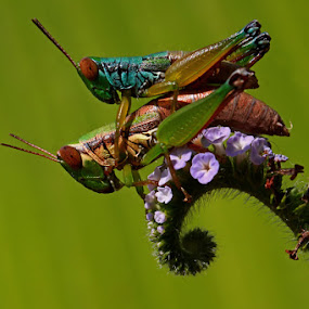 COLOURFULL LOVE by Ian Sumatika - Animals Insects & Spiders