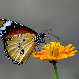 Nature 3 by Muhammad Farooq - Animals Insects & Spiders ( nature images, liberty, pakistan, bahallavi, nature, farooq, karachi, sindh )