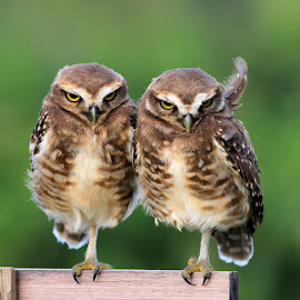 twins! by Itamar Campos - Animals Birds ( solimar bach, looking, twins, burowings, owls )
