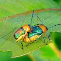 Iridescent Leaf Cylinder Beetle