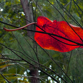 Fallen leaf by CRISTINA  CASTRO - Nature Up Close Leaves & Grasses ( twigs, pwcfallleaves, tree, fall, leaf, leaves )