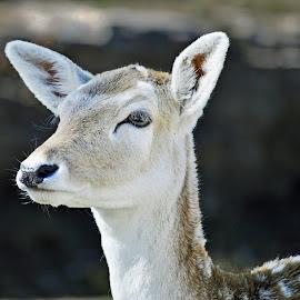The Eye by David Maxwell - Animals Other Mammals ( nature, wildlife, deer, animal,  )