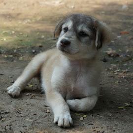 Attitude by Brij Naik - Animals - Dogs Puppies ( calm, attitude, animals, dogs, sitting, puppy, small, portrait )