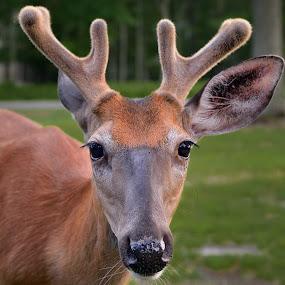 so close  by Dejan Gavrilovic - Animals Other Mammals ( dear dears  pocono woods )
