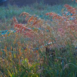 Water Droplets on Prairie Grass by Rita Goebert - Nature Up Close Leaves & Grasses ( south dakota; prairie grass; water droplets; pink tones; june; )
