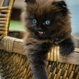 Kitty in a Basket by Olivia Markonic - Animals - Cats Kittens ( tiny, blueeyes, kitten, basket, cute,  )