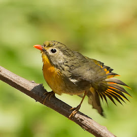 Red-billed Leiothrix by Suraj Ramamurthy - Animals Birds ( #himalayas, #sattal, #birds, #nikond4, #nikkor500mm )