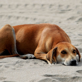 homeless by Cristobal Garciaferro Rubio - Animals - Dogs Portraits ( sand, rest )